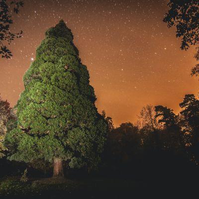 Sekvoja v noci