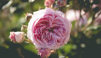 O krupských ružiach