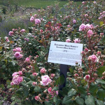 Kvitnúce ruže vyšľachtené grófkou vzásobníku pre budúce rozárium