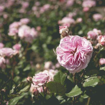 Ruža Márie Henriety Chotekovej