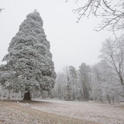 Zima v parku a zasnežená sekvoja